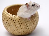 胖小白鼠可爱顽皮图片