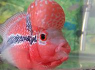 红马罗汉鱼颜色鲜艳图片