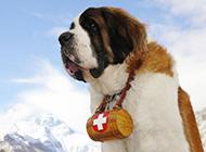 优秀忠诚的短毛圣伯纳犬图片