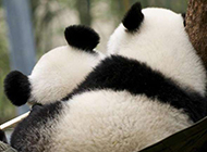 可爱大熊猫图片精美动物壁纸