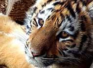 霸气凶猛的孟加拉虎写真图片