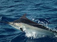 大型鱼类淡水旗鱼图片