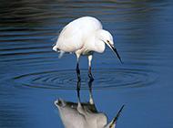麻雀白鹭鸟类动物组图