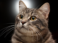 英国短毛银虎斑猫好奇表情图片