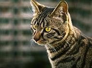 狸花猫眼神犀利图片