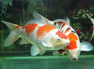 色彩丰富的日本锦锂图片