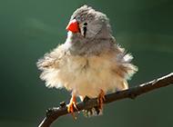 可爱呆萌的小珍珠鸟图片