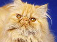 好看的波斯猫高贵气质图片