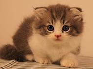 蓝白英短猫可爱幼仔图片