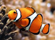 红小丑鱼海底玩耍图片