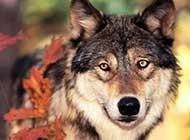 森林之狼 狼的写真