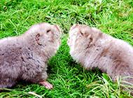 啮齿类动物竹鼠图片欣赏