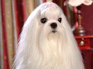 纯种马尔济斯犬可爱乖巧图片