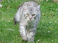 美国缅因猫图片走路霸气侧漏