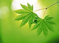 春日万物生长绿色叶子高清图片