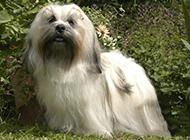 长毛拉萨犬公园帅气特写图片