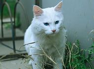 招人喜爱的蓝眼白猫的图片