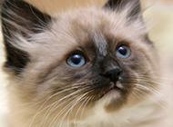 迷人美丽的喜马拉雅种猫图片