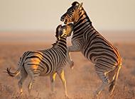 非洲草原动物条纹斑马壁纸