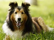 纯种苏格兰牧羊犬唯美写真图片大全