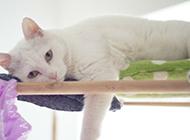 白色中华田园猫懒洋洋图片大全