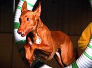 小型法老王猎犬杂技表演图片