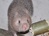 繁殖力强的中华竹鼠图片