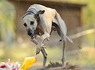 澳洲灵缇犬荒地赛跑图片
