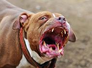 比特犬狗王凶猛的图片