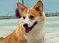 招人喜爱的彭布罗克威尔士柯基犬高清图片