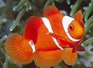 驰骋海底世界的双带小丑鱼图片