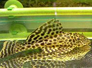 长相普通的黄金清道夫鱼图片