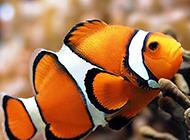 色彩斑斓的公子小丑鱼图片