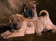 头似河马的沙皮犬幼犬图片