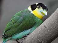 绿色迷人的长尾阔嘴鸟高清图片