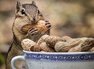 吃花生的可爱花栗鼠图片