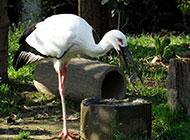 热带大型鸟类东方白鹳图片