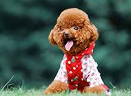 活蹦乱跳的泰迪狗狗图片