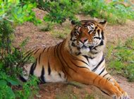 大型猫科动物孟加拉虎图片