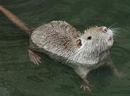 会游泳的小海狸鼠图片