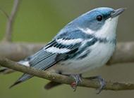 世界各地美丽鸟类:北美歌雀一展歌喉