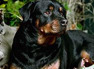 德国罗威纳犬真挚眼神特写图片