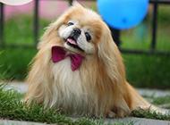 俏皮的小京巴犬帅气写真图片