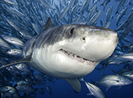 鲨鱼微距高清图片素材