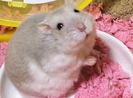 布丁奶茶仓鼠卖萌的图片