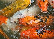 悠然戏水的鲤鱼高清壁纸