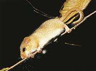 胆小害怕的睡鼠图片