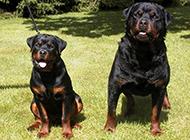 干净温驯的罗威纳犬图片