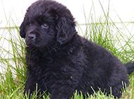 纽芬兰犬可爱淘气幼犬图片