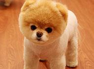 超萌的博美系俊介犬图片